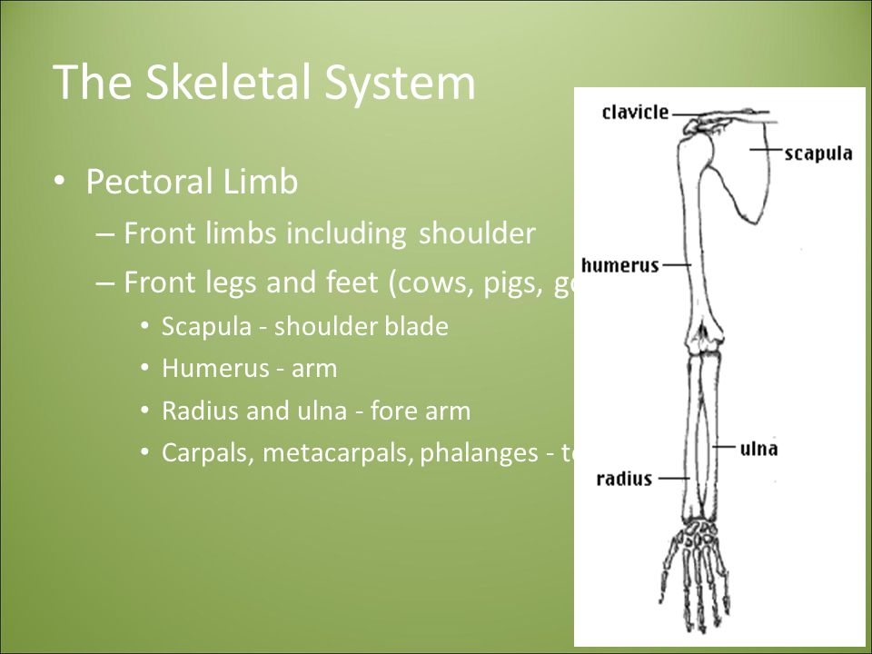 The Skeletal System Pectoral Limb Front limbs including shoulder