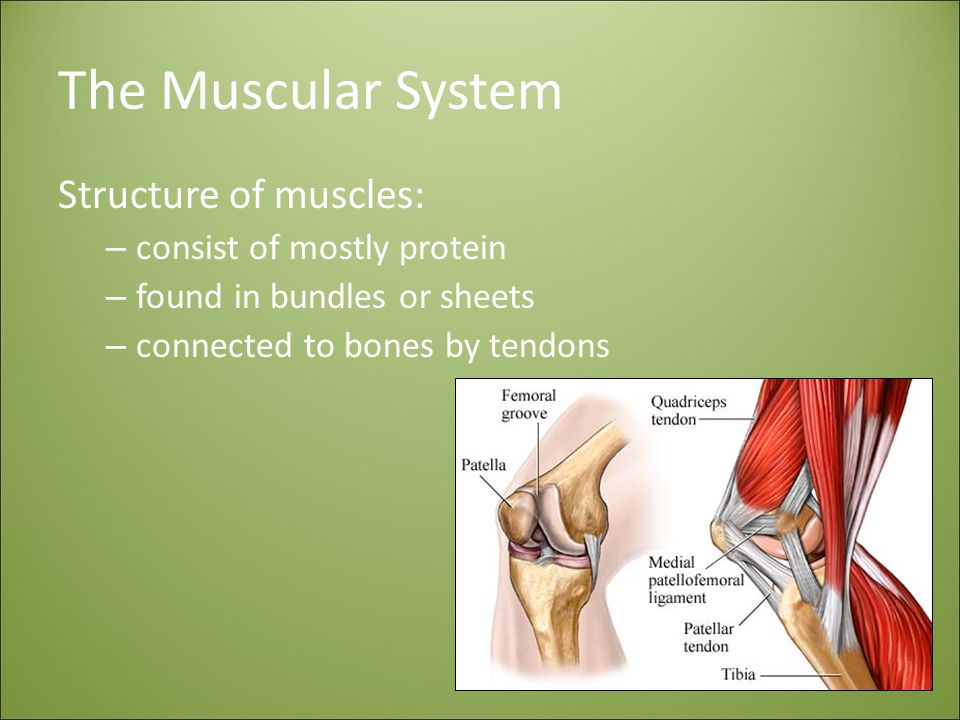 The Muscular System Structure of muscles: consist of mostly protein