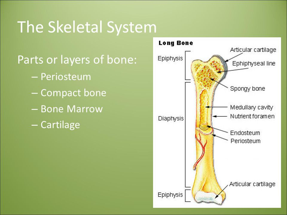 The Skeletal System Parts or layers of bone: Periosteum Compact bone