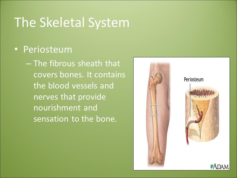The Skeletal System Periosteum