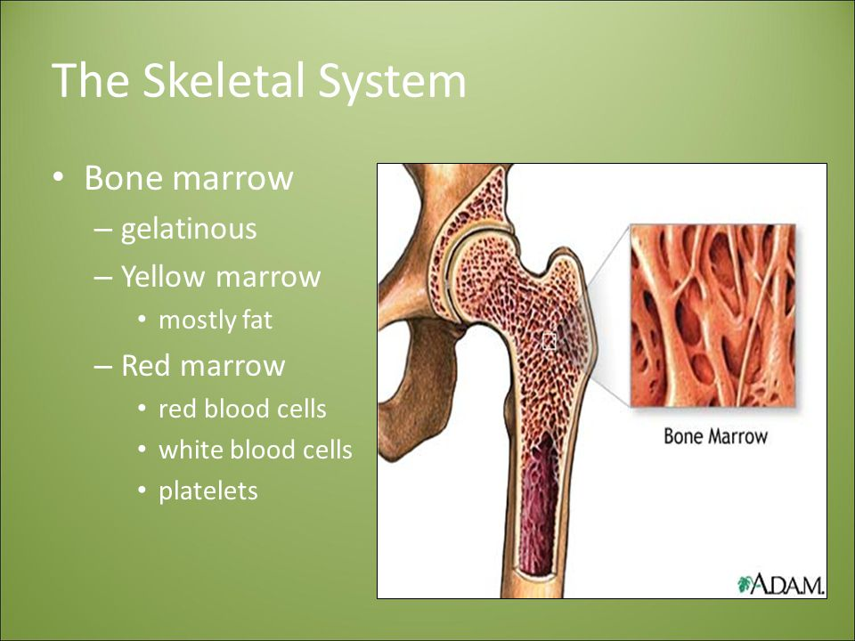 The Skeletal System Bone marrow gelatinous Yellow marrow Red marrow