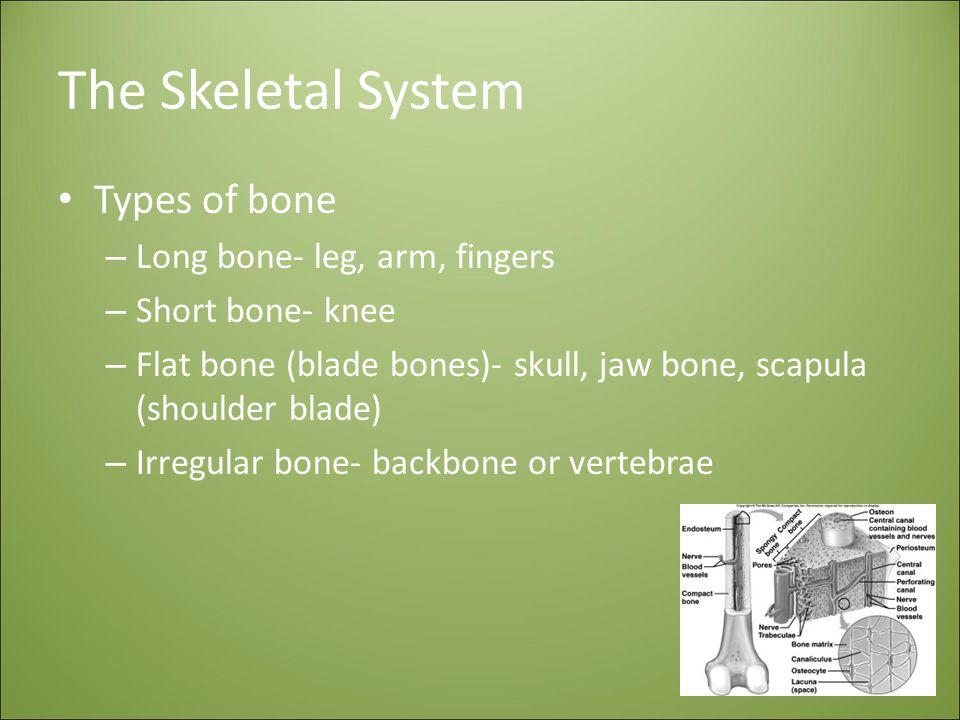 The Skeletal System Types of bone Long bone- leg, arm, fingers