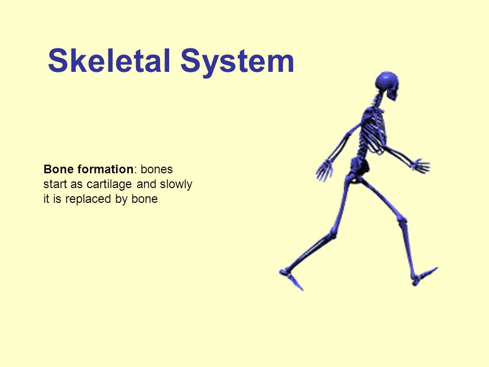 Skeletal System Bone formation: bones start as cartilage and slowly it is replaced by bone