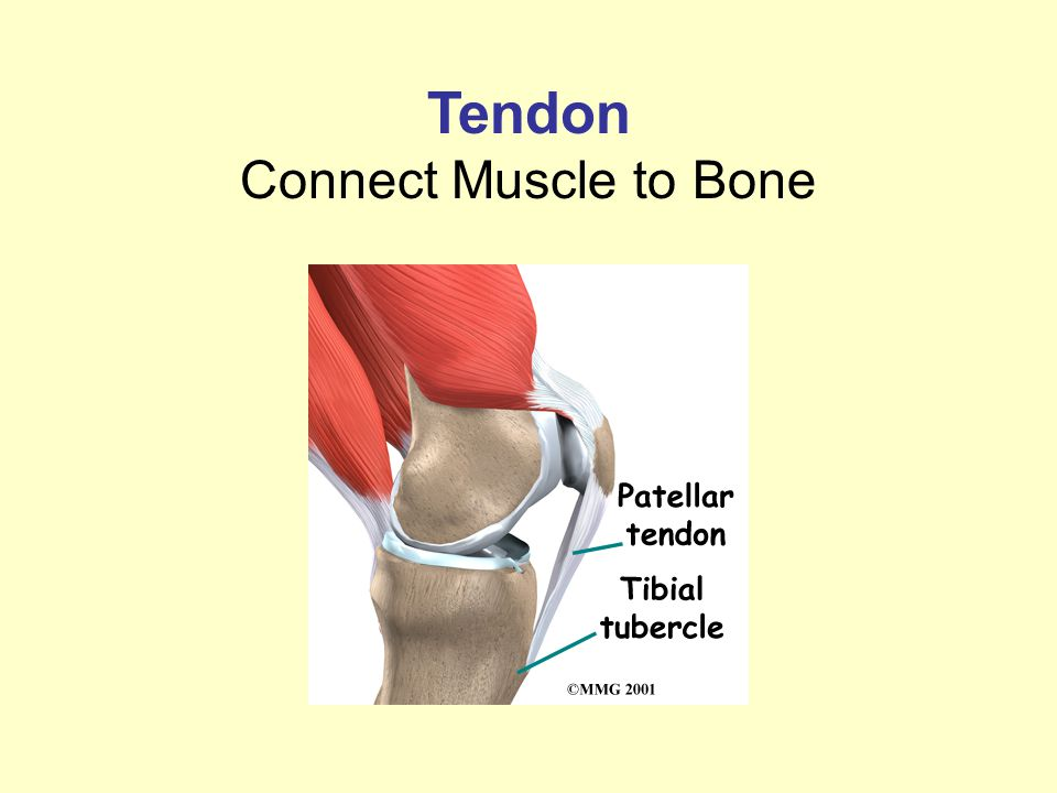 Tendon Connect Muscle to Bone