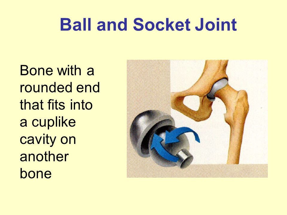 Ball and Socket Joint Bone with a rounded end that fits into a cuplike cavity on another bone