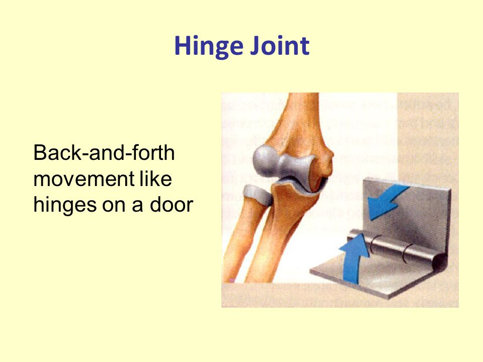 Hinge Joint Back-and-forth movement like hinges on a door