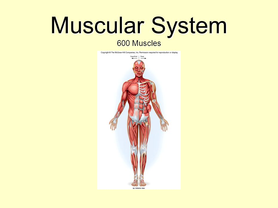 Muscular System 600 Muscles