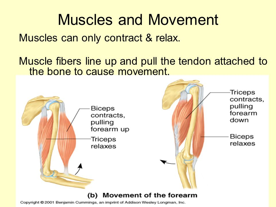 Muscles and Movement Muscles can only contract & relax.