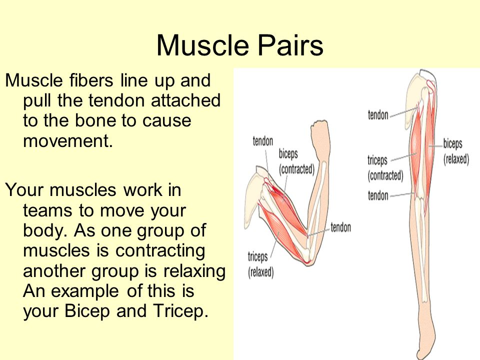 Muscle Pairs Muscle fibers line up and pull the tendon attached to the bone to cause movement.