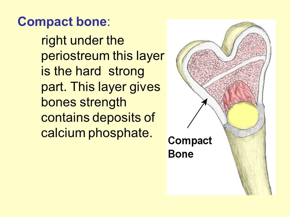 Compact bone: