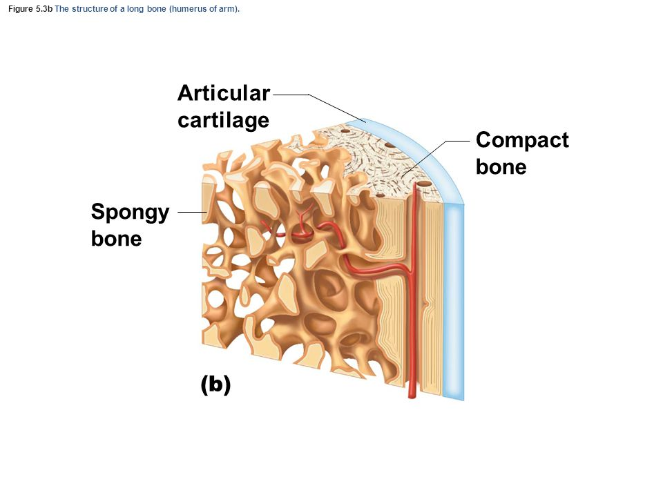 Figure 5.3b The structure of a long bone (humerus of arm).