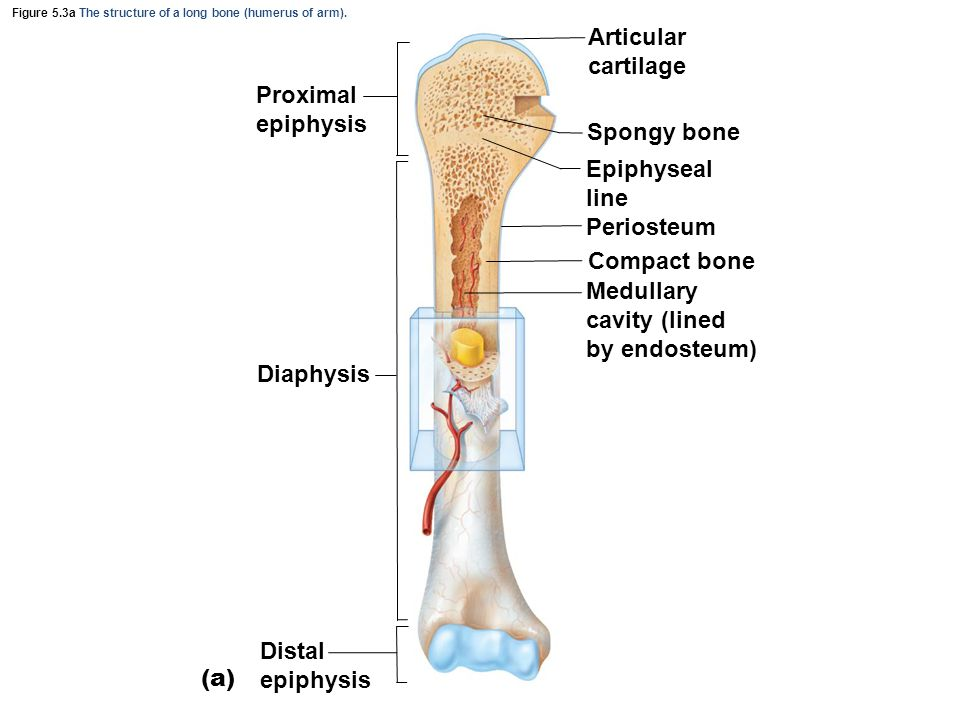 Figure 5.3a The structure of a long bone (humerus of arm).