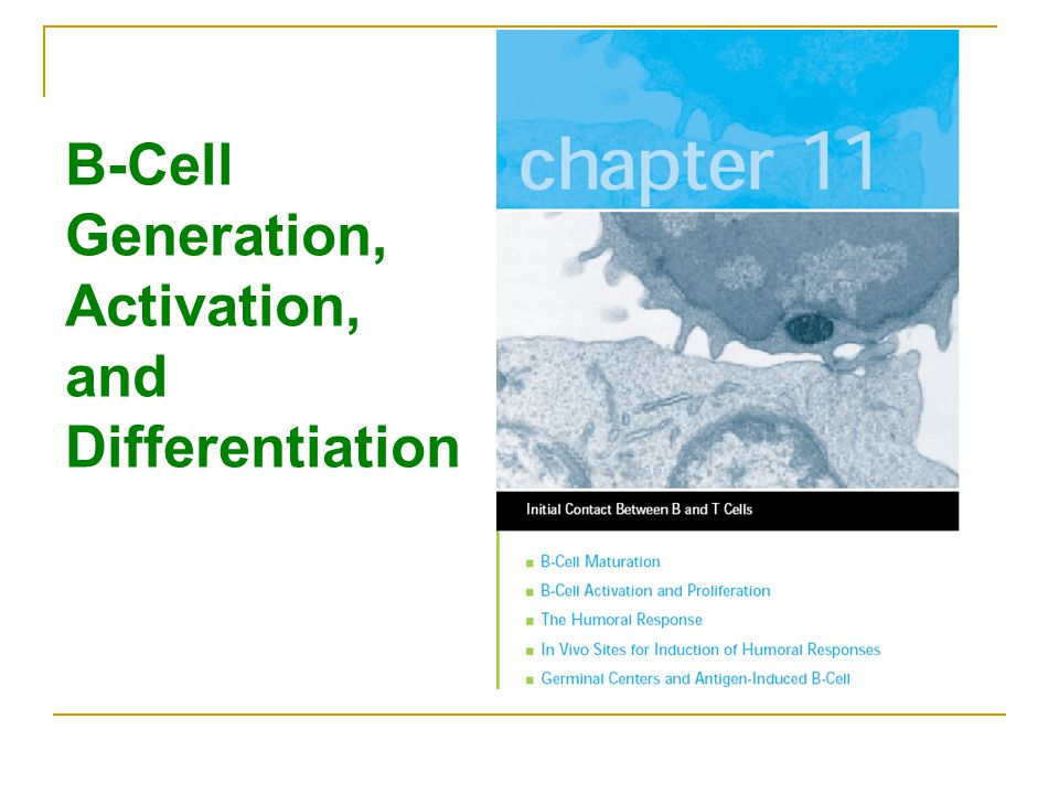 b cell maturation activation and differentiation pdf
