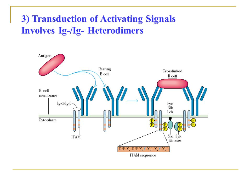 3) Transduction of Activating Signals Involves Ig-/Ig- Heterodimers
