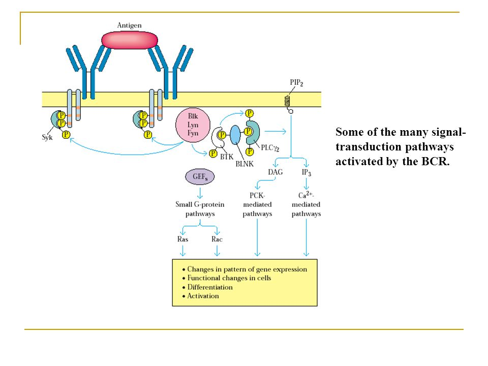 Some of the many signal-transduction pathways