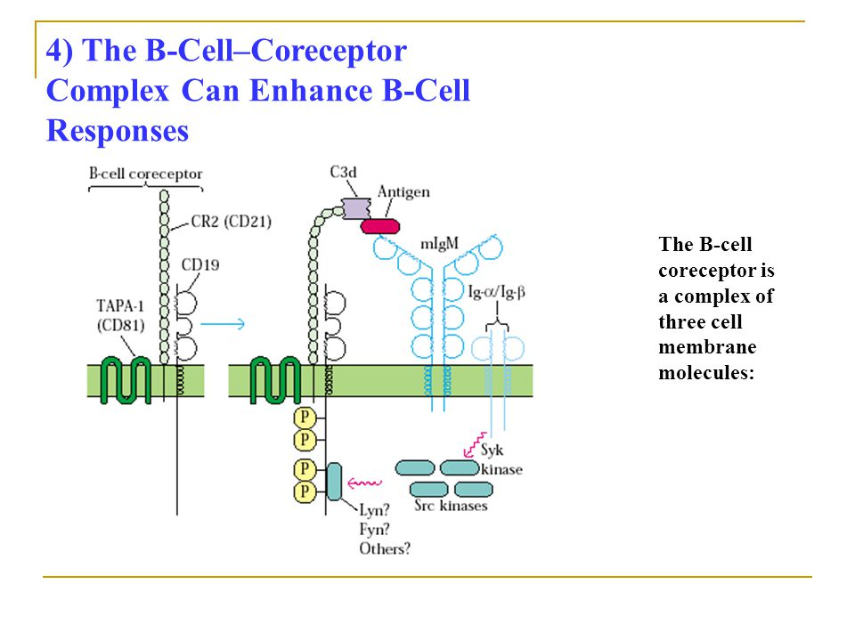 4) The B-Cell–Coreceptor Complex Can Enhance B-Cell Responses