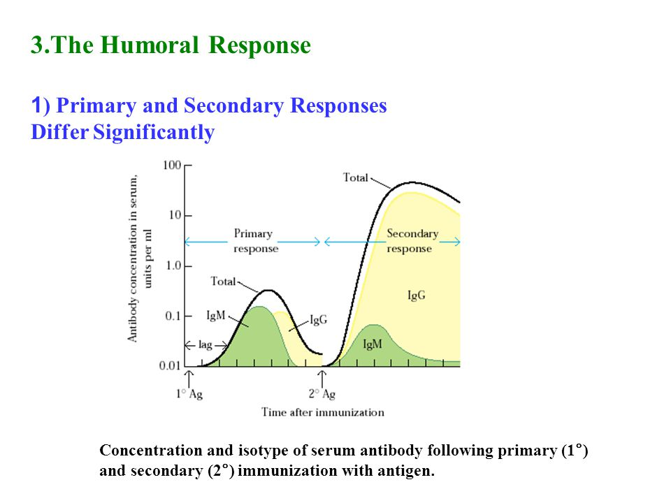 3.The Humoral Response 1) Primary and Secondary Responses Differ Significantly.