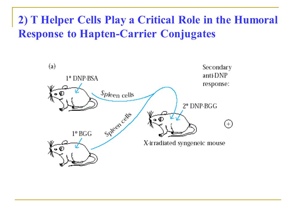 2) T Helper Cells Play a Critical Role in the Humoral Response to Hapten-Carrier Conjugates