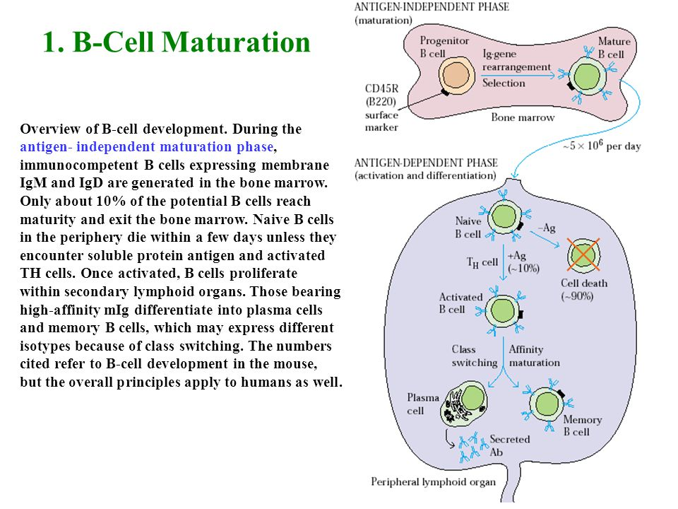 1. B-Cell Maturation