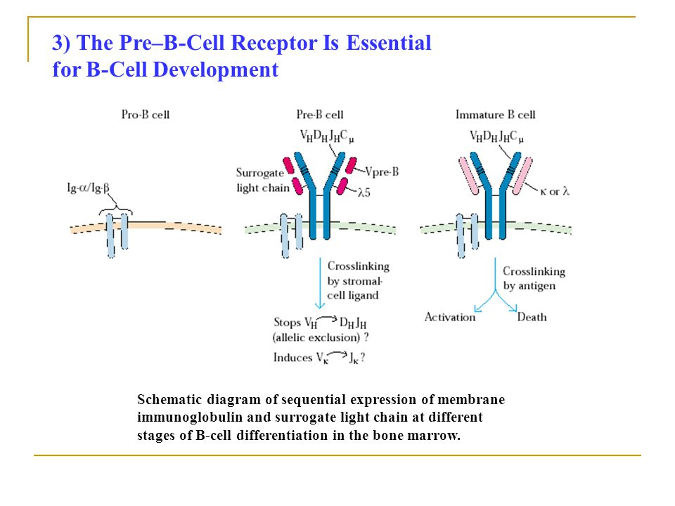 3) The Pre–B-Cell Receptor Is Essential for B-Cell Development