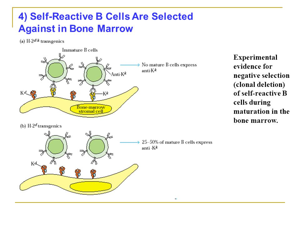 4) Self-Reactive B Cells Are Selected Against in Bone Marrow
