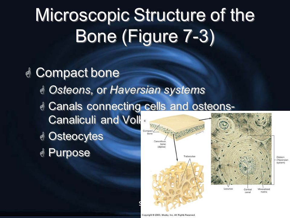 Microscopic Structure of the Bone (Figure 7-3)