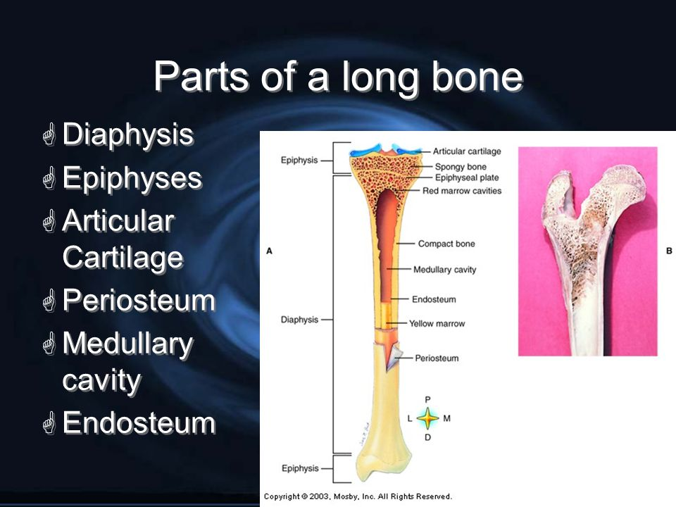 Parts of a long bone Diaphysis Epiphyses Articular Cartilage