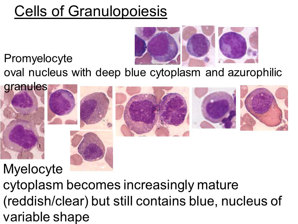 Cells of Granulopoiesis