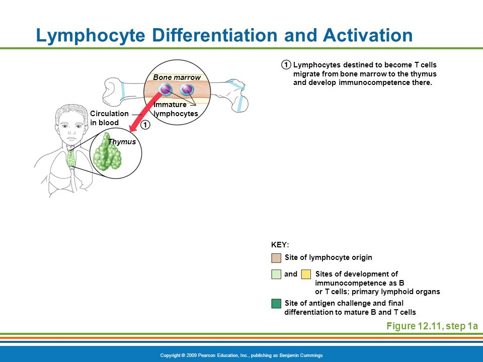 Lymphocyte Differentiation and Activation