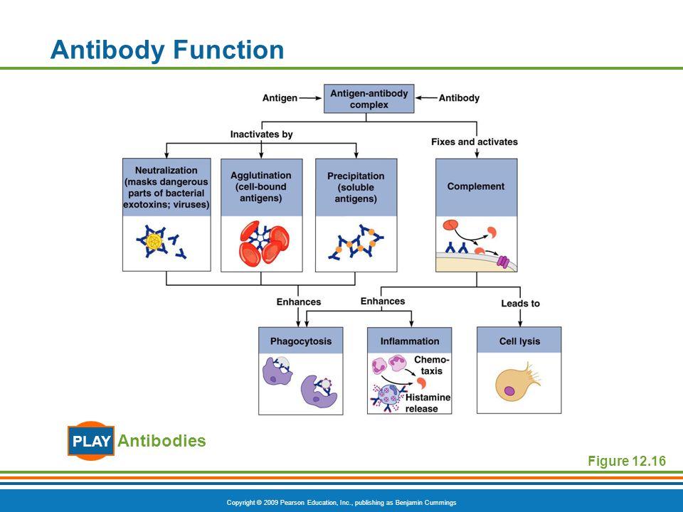 Antibody Function PLAY Antibodies Figure 12.16