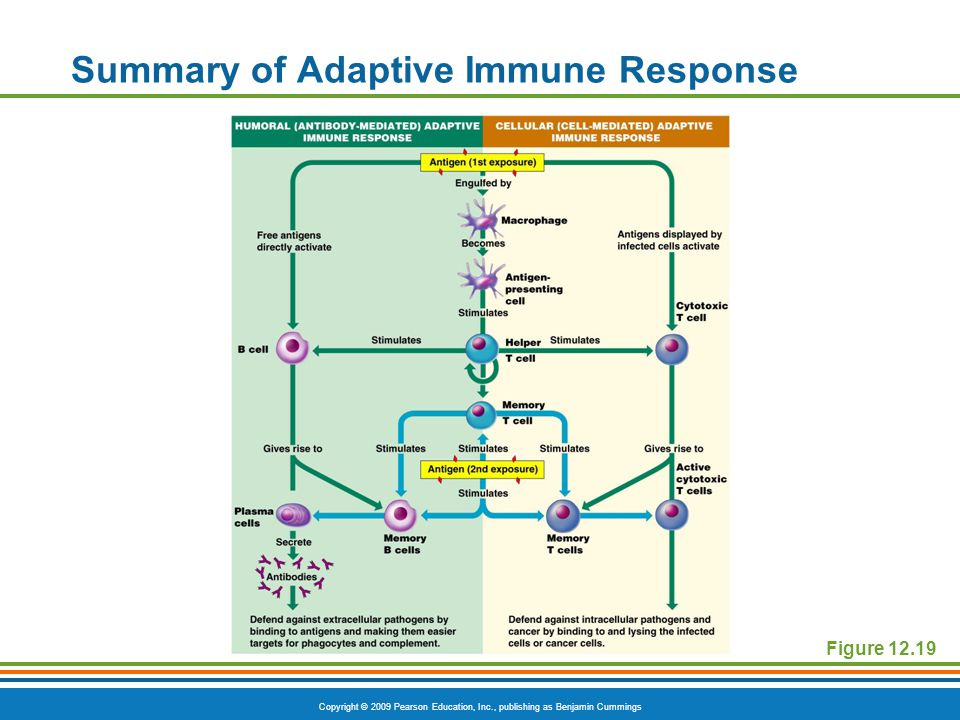 Summary of Adaptive Immune Response