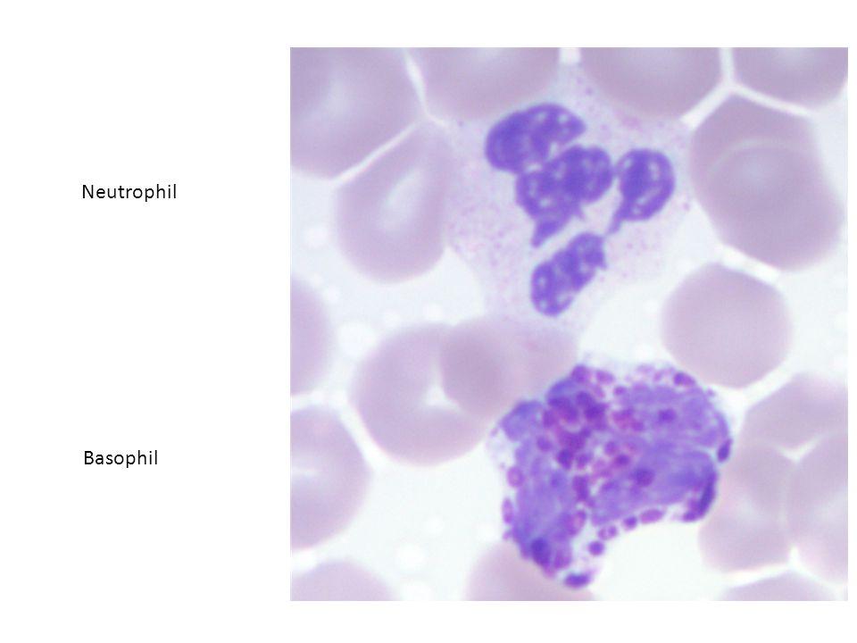 Neutrophil Basophil