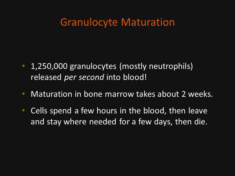 Granulocyte Maturation