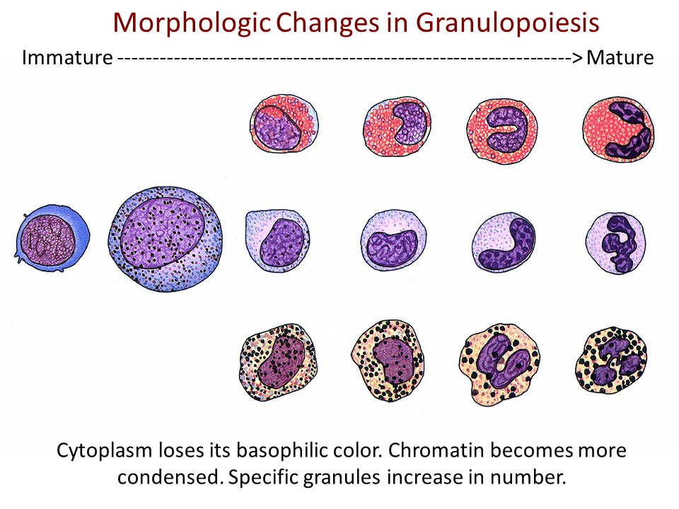 Morphologic Changes in Granulopoiesis