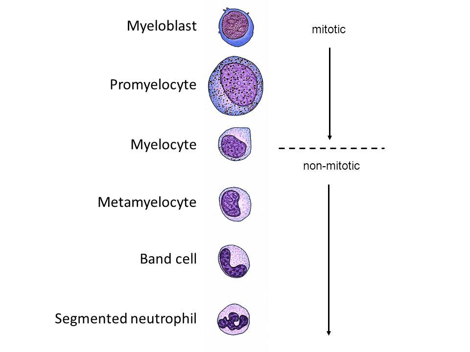 Myeloblast Promyelocyte Myelocyte Metamyelocyte Band cell