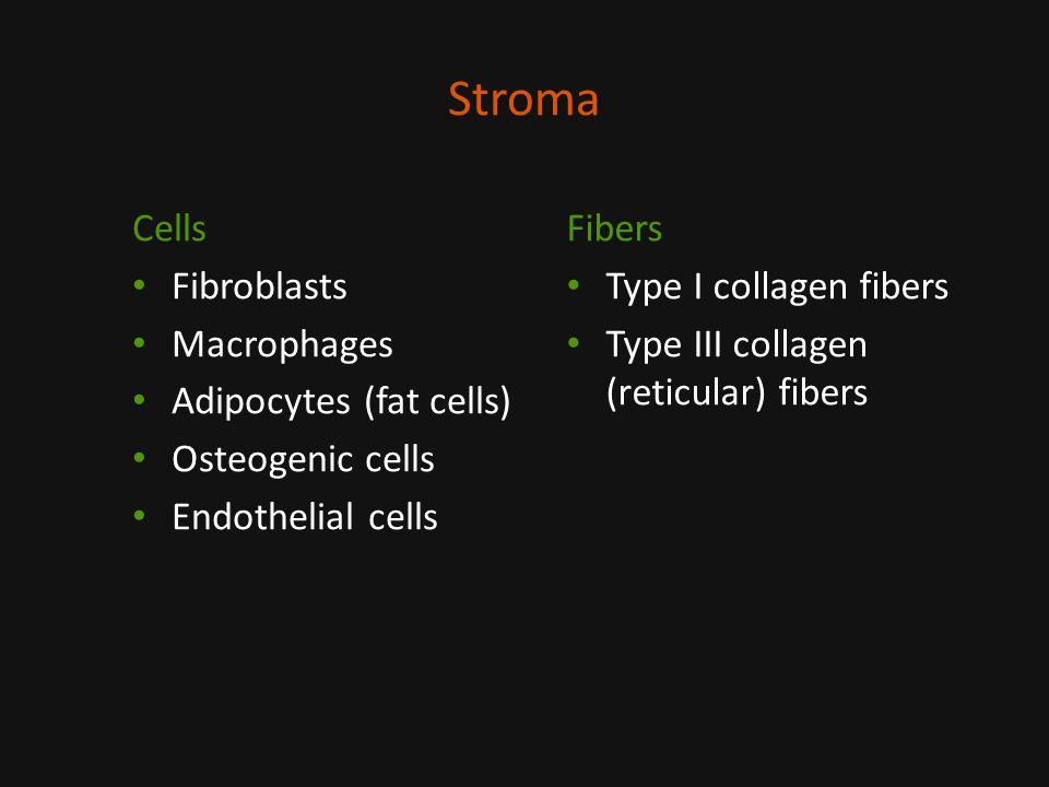 Stroma Cells Fibroblasts Macrophages Adipocytes (fat cells)