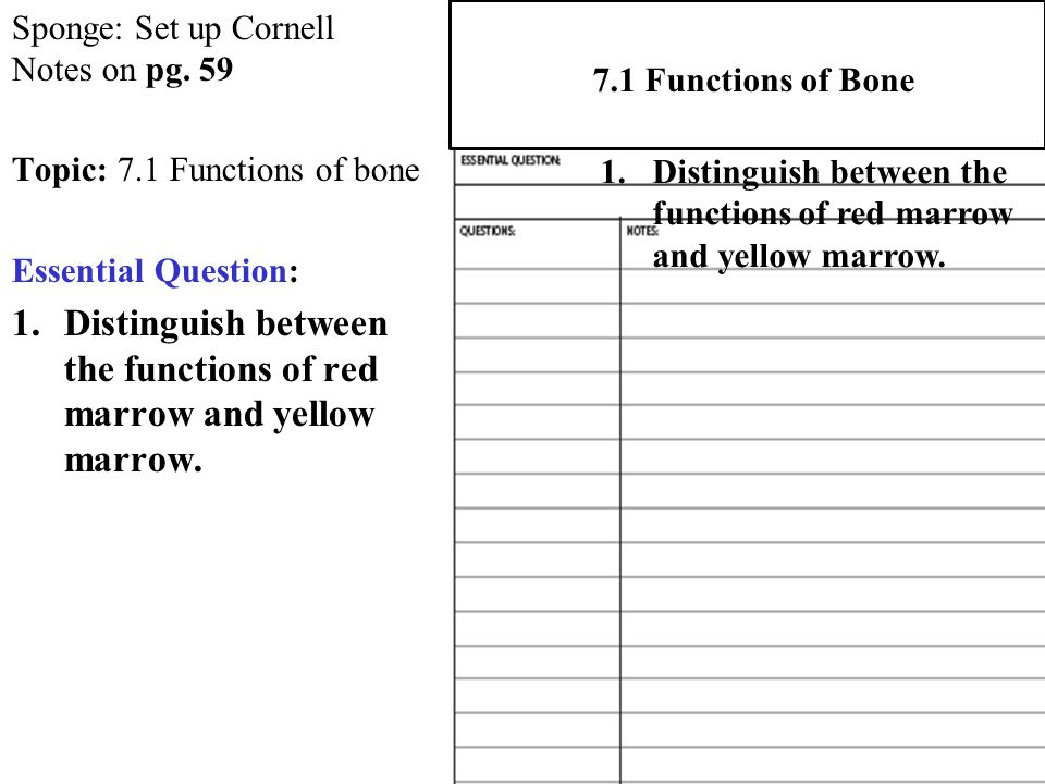 Distinguish between the functions of red marrow and yellow marrow.