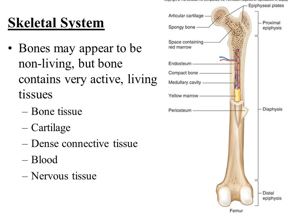 Skeletal System Bones may appear to be non-living, but bone contains very active, living tissues. Bone tissue.