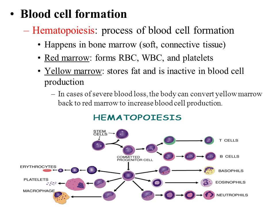 Blood cell formation Hematopoiesis: process of blood cell formation