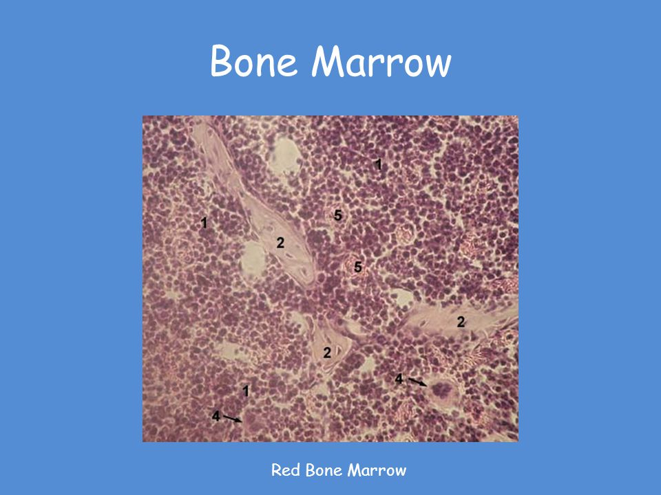 Bone Marrow Red Bone Marrow