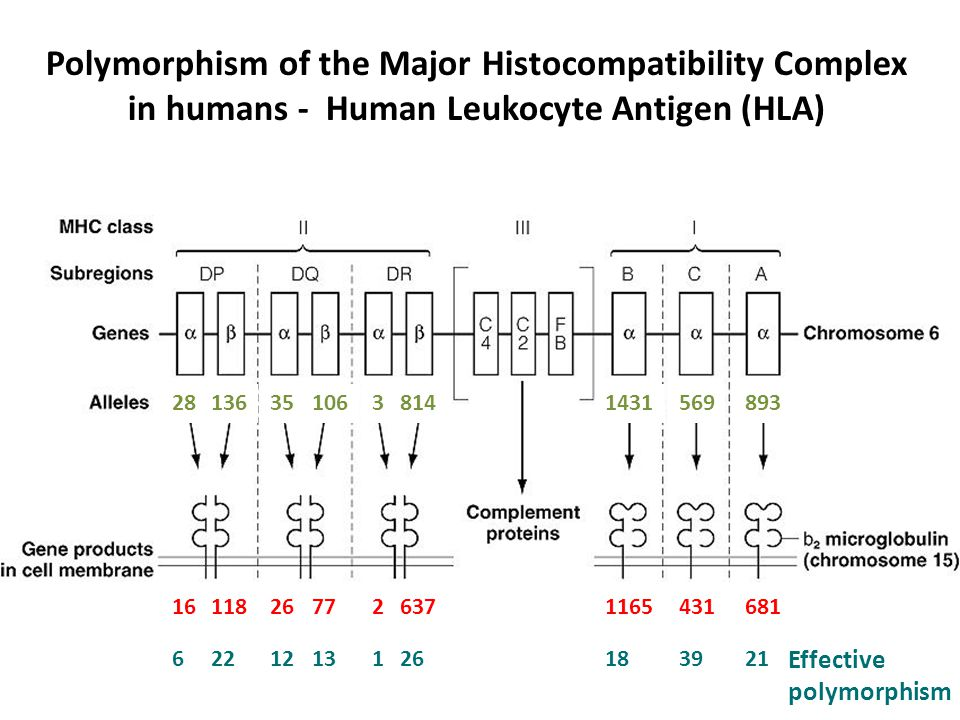 Polymorphism of the Major Histocompatibility Complex in humans - Human Leukocyte Antigen (HLA)