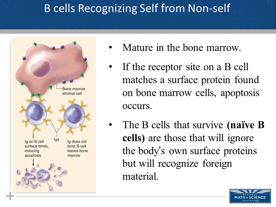 B cells Recognizing Self from Non-self
