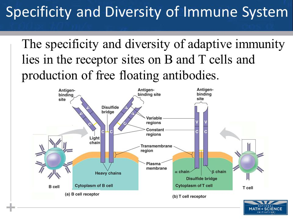Specificity and Diversity of Immune System