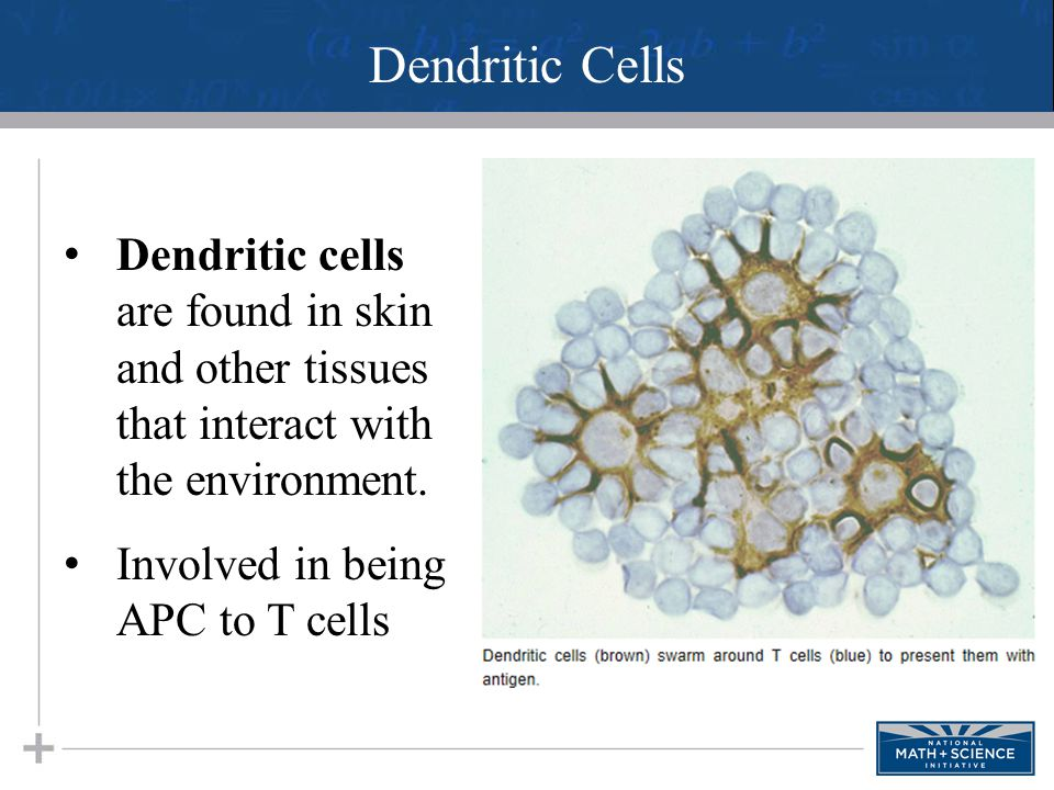 Dendritic Cells Dendritic cells are found in skin and other tissues that interact with the environment.