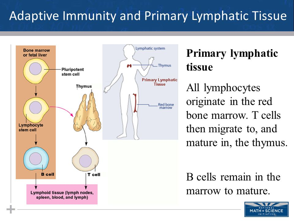 Adaptive Immunity and Primary Lymphatic Tissue