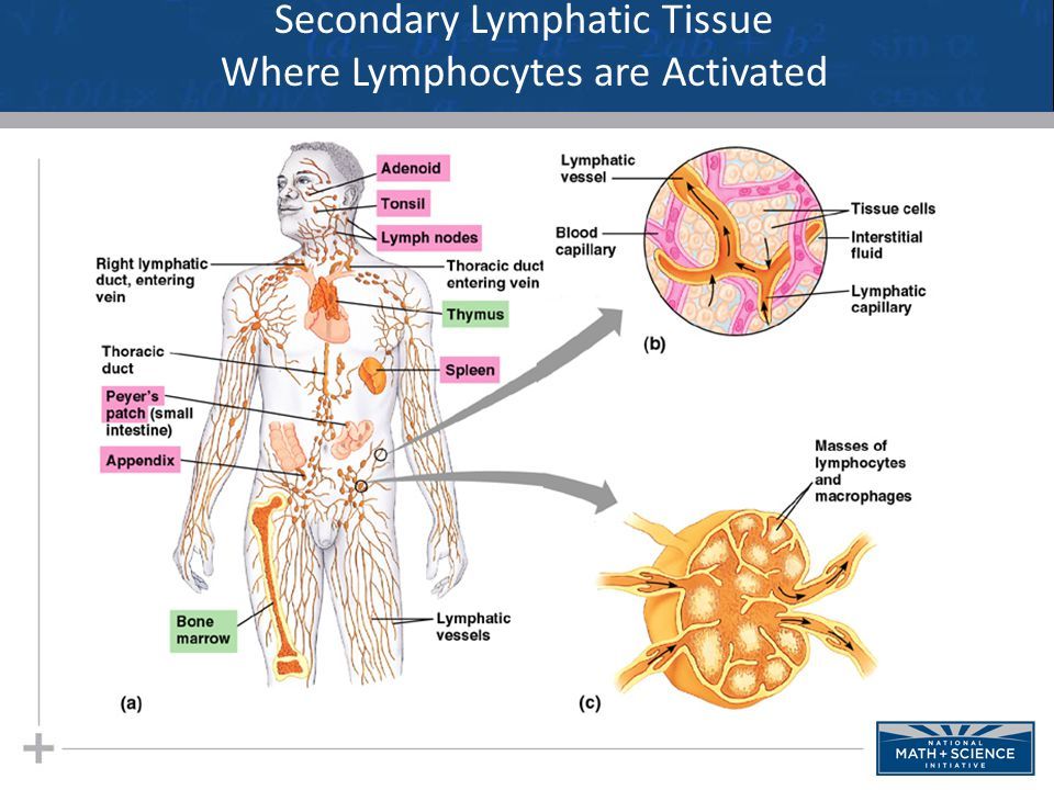 Secondary Lymphatic Tissue Where Lymphocytes are Activated