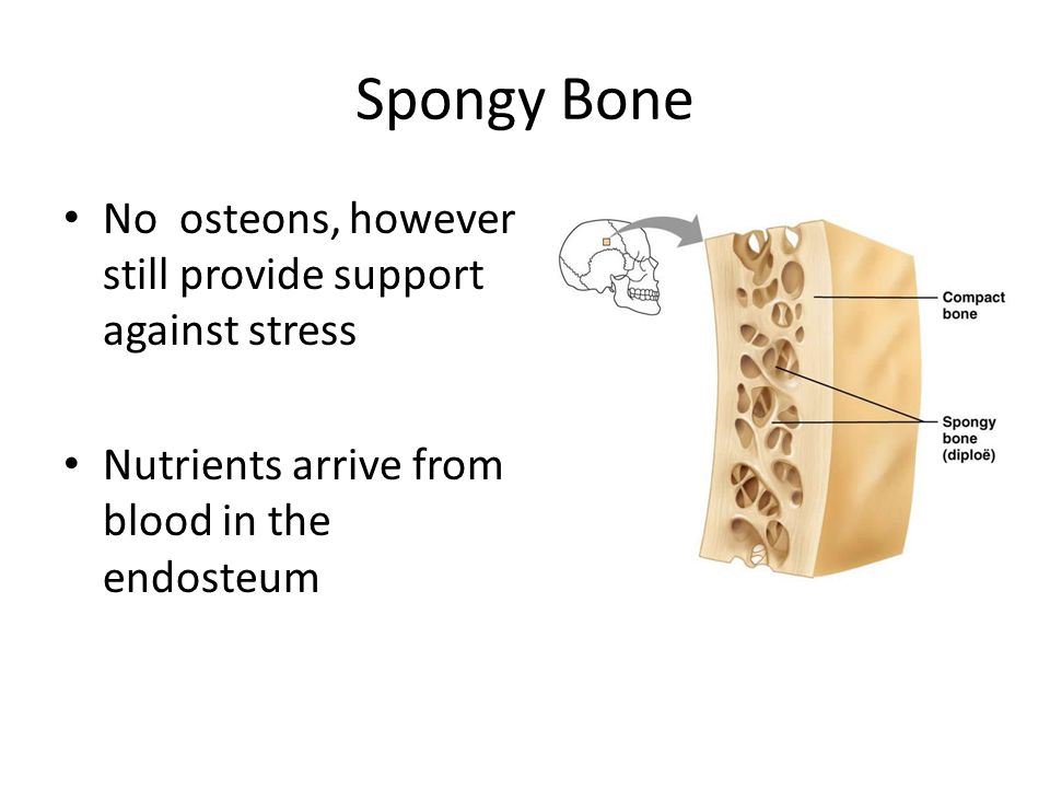 Spongy Bone No osteons, however still provide support against stress