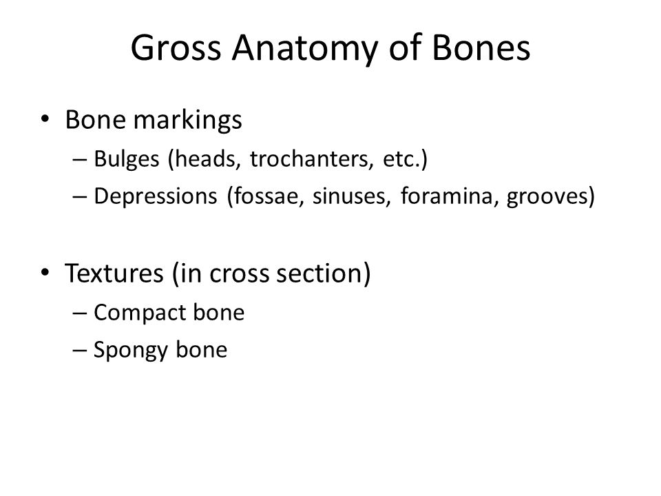 Gross Anatomy of Bones Bone markings Textures (in cross section)
