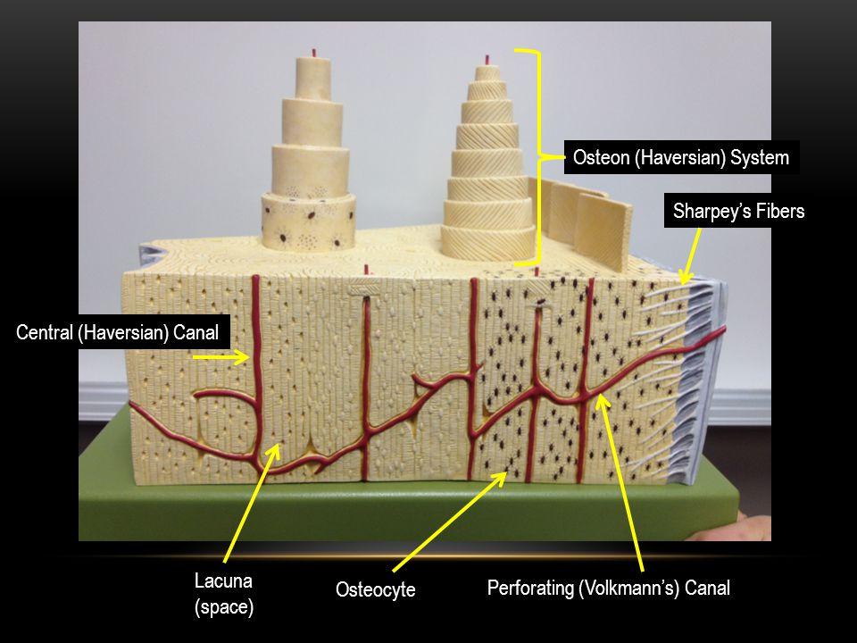 Osteon (Haversian) System
