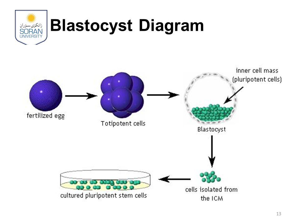 Blastocyst Diagram